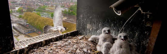 Ringing peregrine chicks