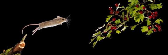 Springende muis ; Jumping mouse
